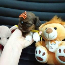 Shih tzu femea chocolate mini