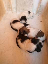 Lindos filhotes de Shih tzu