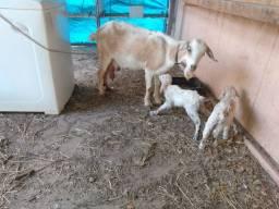 Vendo cabra e cabritos