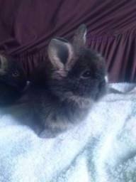Ultimos filhotes: Coelhos Mini Lion Head realmente mini super fofos