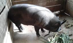 Porco / Barrasco Macau Grande
