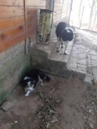 Mãe e filhotes de border collie