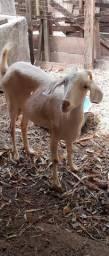 Venda de cabra com filhote.