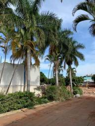 Palmeira Imperial Adulta(10 unidades) - Aproximadamente 10 metros