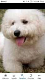 Cachorro fêmea podool