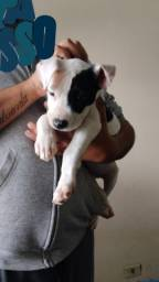 Pit Bull red nouse  macho