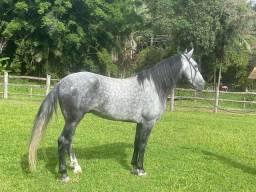 Cavalo Mangalarga Machador Inteiro Marcha Batida- 7 anos - Registro definitivo