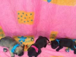 Vendo filhotes de Pug com pedigree