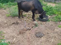 Vaca leiteira no momento ainda não amojou
