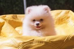 Lindo filhote de Spitz Branco ( preço especial pro final de semana )