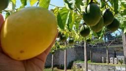 15 sementes de maracujá doce mel do cerrado