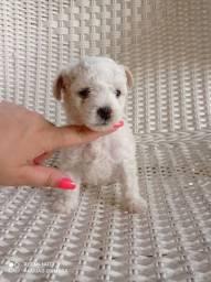Filhote de poodle disponível
