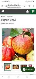 Muda goiaba maçã  com flores alporquia