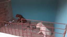 Pit bull mister