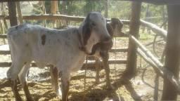 Bezerra gado femeas leite corte girolanda holandes desmamadas ver frete sul de minas