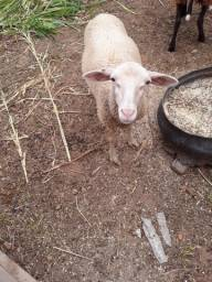 Casal de carneiro
