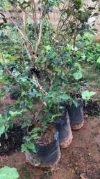 Jabuticaba 1,5m florando
