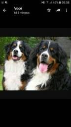 Lindos benesse mountaim... Um dos cães mais lindos do mundo