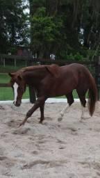 Vende-se cavalo quarto de milha (troco)