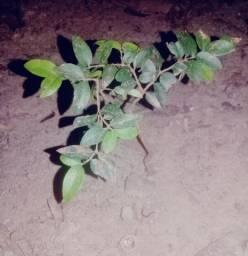 Vendo muda de jabuticaba