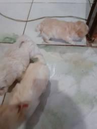 Filhote de poodle toy muito lindos nem raça pequenas