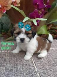 Vendo filhote de shitzu tamanho Mini fêmeas