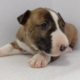 Bull Terrier a pronta entrega linda fêmea com muitas garantias