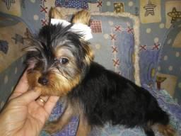 Último macho de yorkshire terrier com 3 meses pequeno