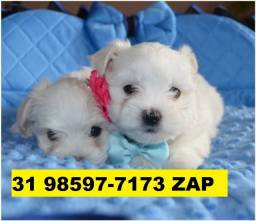 Canil Filhotes Cães Perfeitos BH Maltês Lhasa Beagle Poodle Yorkshire Bulldog Shihtzu