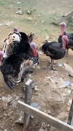 Casal de peru e marreco