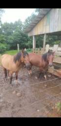 02 cavalos raça criolo