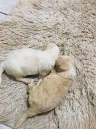 Filhotes de poodle machos