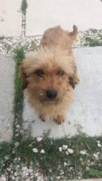Doação de cachorro - Amarelinho