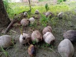Mudas de coqueiro