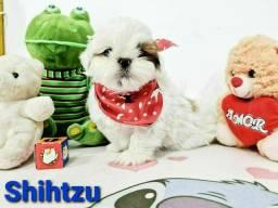 Shihtzu legítimos com pedigree