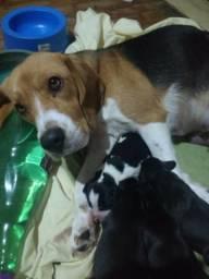 Filhotes de Beagle - Presente de dia das crianças