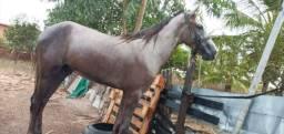 Vendo cavalo machado de nascença