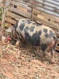 Vende se casal de porcos