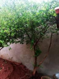 Pé de jabuticaba e pé de acelora de 2 metros carregado de fruto