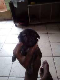 Poodle mini macho