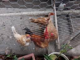 3 galinhas 1 galo R$100 (vindo buscar)