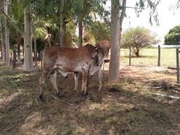 Garrote / touro