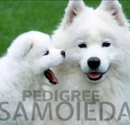 Filhote de Samoieda (Pronta Entrega)