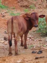 Mini boi, mini vaca, mini bezerros