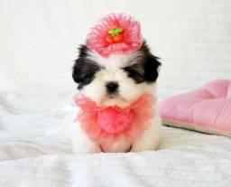 Shih tzu fêmea, formosura de menina - Namu Royal pet shop