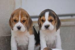 Beagle machos e fêmeas disponíveis!