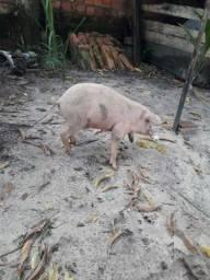 vendo esse porco de raca