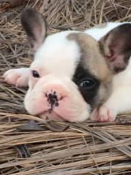 Bulldog francês em 12 vezes sem juros
