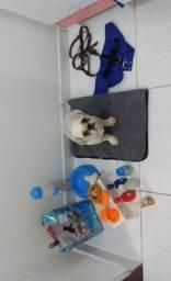 Cachorro shih Tzu macho vacinado