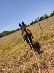 Vendo ou troco mula muito  boa